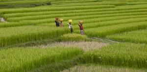 Madagaskar Ernte Reisfeld