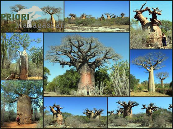 Baobab_Collage-PRIORI-Reisen-Madagaskar