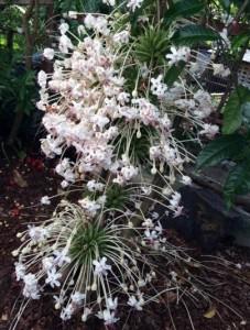 La Mariée Blume Madagaskar Blüte Antalaha