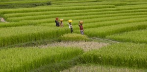 Reisfelder Madagaskar