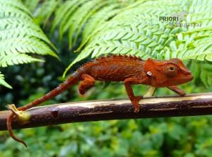 Chamäleon-Madagaskar