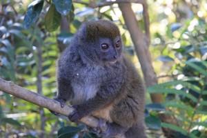 Das Signal steht auf Grün in Madagaskar -MG110: Madagaskar-Brauner-Lemur-PRIORI-Reisen
