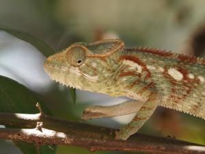 Madagaskar Nationalparks Chamäleon im Kirindy Wald