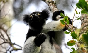 Madagaskar-Lemur-Andasibe-Nationalpark-PRIORI-Reisen