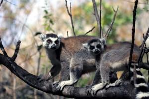 Madagaskars Südwesten _Madagaskar-Katta