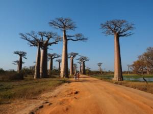 Madagaskar_Baobabs-Allee