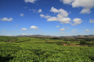 Madagaskar mit dem Drahtesel _Teeplantagen