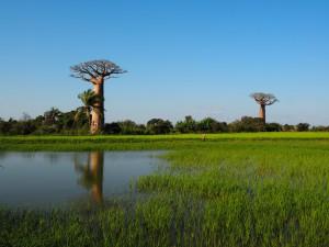 Drei auf einen Streich in Madagaskar_Baobab