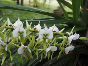 Masoala-Durchquerung Madagaskar_Orchidee_Ostküste