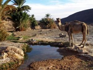 Marokko Reise - Oase mit Wasserstelle und Kamel
