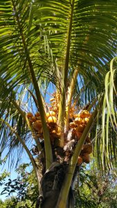 Kreolische Farben: Palme La Réunion
