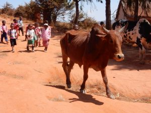 PRIORI Themereise: Agrarreise Zebu Madagaskar