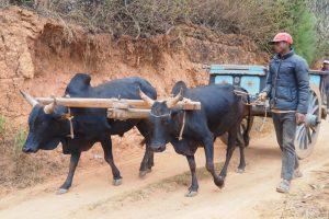 PRIORI Themereise: Agrarreise Zebukarren Madagaskar
