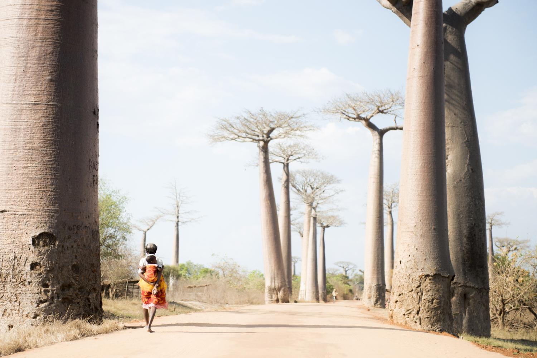Adansonia madagascariensis - Baobaballee Madagaskar
