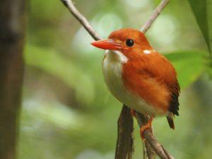 """Corythornis madagascariensis – der Eisvogel Madagaskars; Schutzgebiet """"Harmonische Landschaft"""" von Loky Manambato"""