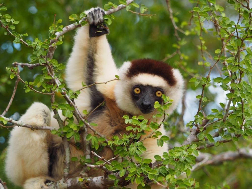Tanzende Larvensifakas in Madagaskar