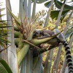 Eindrucksvolle Tage in Madagaskar: Katta - Lemur in Madagaskar © Achim Möbes