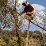 Eindrucksvolle Tage in Madagaskar: Sifaka-Lemur Madagaskar © Achim Möbes