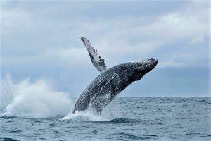 Abenteuerreise nach Madagaskar: Buckelwale vor der Ostküste Madagaskars