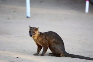 Abenteuerreise nach Madagaskar: Fossa im Kirindy Nationalpark