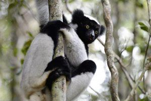 Abenteuerreise nach Madagaskar: Indri Indri im Regenwald von Andasibe