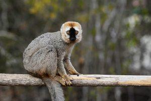 Abenteuerreise nach Madagaskar: Lemuren im Bemaraha Nationalpark
