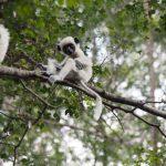 Madagaskarreise war sensationell - Babylemur
