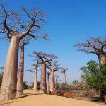 Madagaskarreise war sensationell - Baobabs