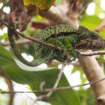 Madagaskarreise war sensationell - Chamäleon