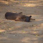 Madagaskarreise war sensationell - Fossa