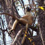 Madagaskarreise war sensationell - Lemur
