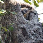 Madagaskarreise war sensationell - Mausmaki