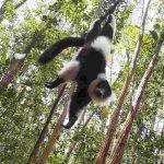 Madagaskarreise war sensationell - schwarzweisser Vari
