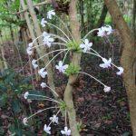 Blumenblüte La Mariée und Vanille in Madagaskar