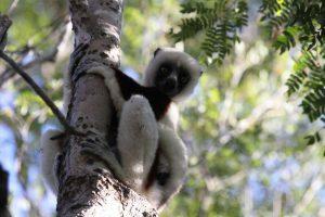 Komoren und Madagaskar 2019 - Lemur Madagaskar