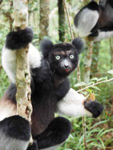 Madagaskars Lemuren zu Buckelwalen - Lemur