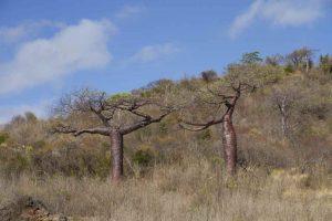 Quer durch Madagaskars Norden - Baobab