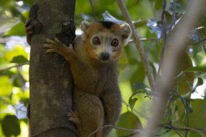 Quer durch Madagaskars Norden - Lemur