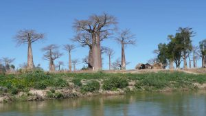 Mangoky-Fluss: Baobabs in Madagaskar