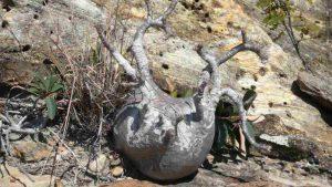 Pachypodium in Madagaskar auf dem Weg zum Mangoky-Fluss