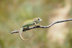 Chamäleon Reise in den Südwesten Madagaskars