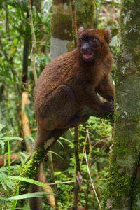 Lemur auf der Reise in den Südwesten Madagaskars