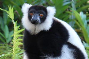 wunderbare Ferien in Madagaskar: Lemur in Madagaskar