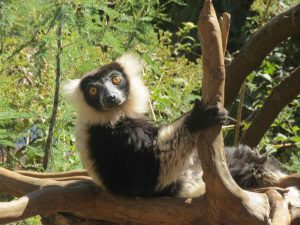 Ferien in Madagaskar genossen: Lemur im Nationalpark