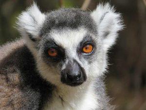 Trekking entlang der Eisenbahnlinie: Katta-Lemur