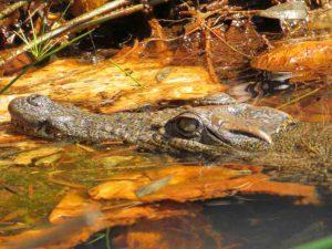Trekking entlang der Eisenbahnlinie: Krokodil