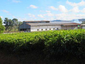 Trekking entlang der Eisenbahnlinie:Teeplantage sidexam