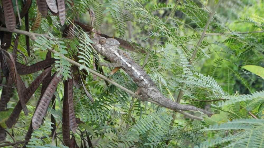 Unser Madagaskar Abenteuer: Chamäleons