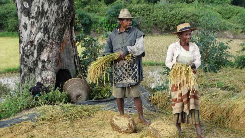 Unser Madagaskar Abenteuer: Reisfelder und Feldarbeit