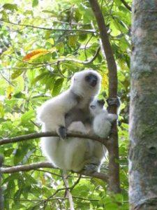 Kleiner Madagaskar-Reisebericht: Sifaka Lemur mit Baby